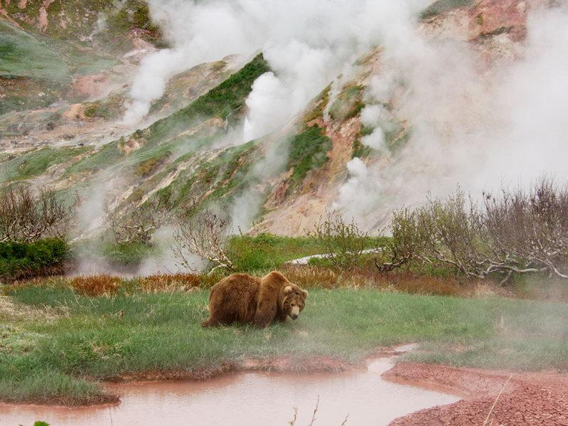 Камчатский медведь в Долине гейзеров