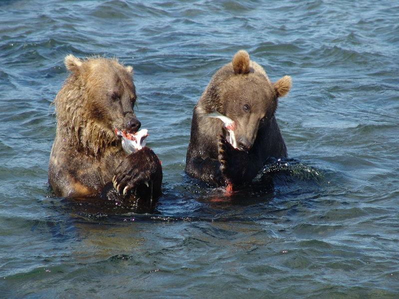 Камчатские медведи на рыбалке