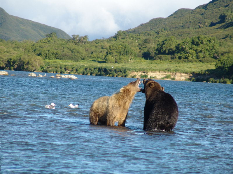Медведи общаются