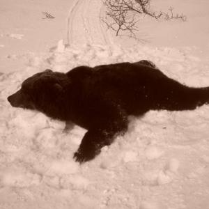 Трофеи - медведь